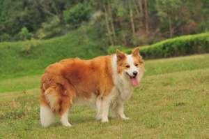 怎样养好边境牧羊犬,聪明绝顶的犬就是你家汪星人